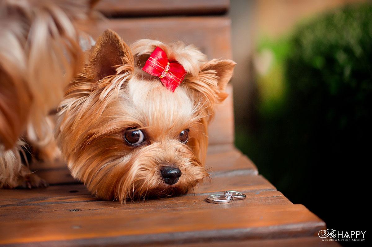 Собака смотрит на обручальные кольца свадьба Би Хеппи